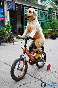 Dog riding bike