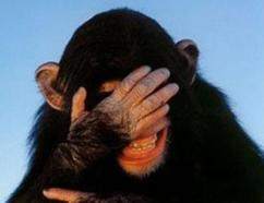 embarrassed-chimp